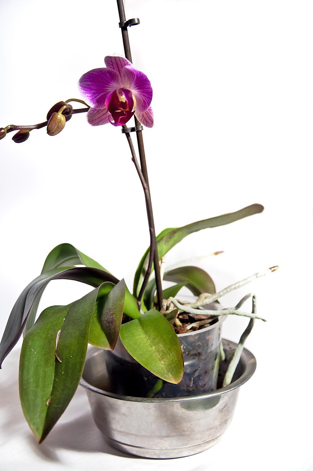 Орхидея_DSC_1616_1