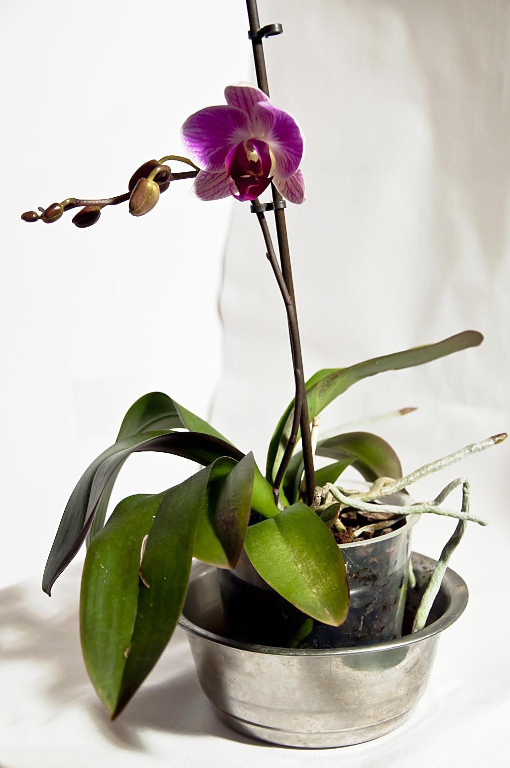 Орхидея_DSC_1617