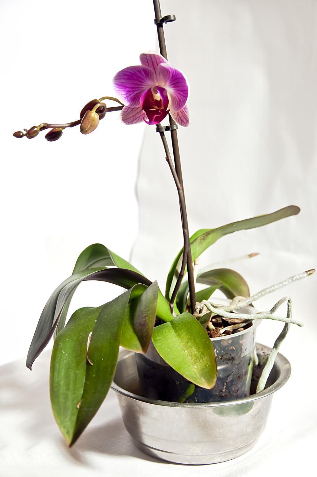 Орхидея_DSC_1617_3