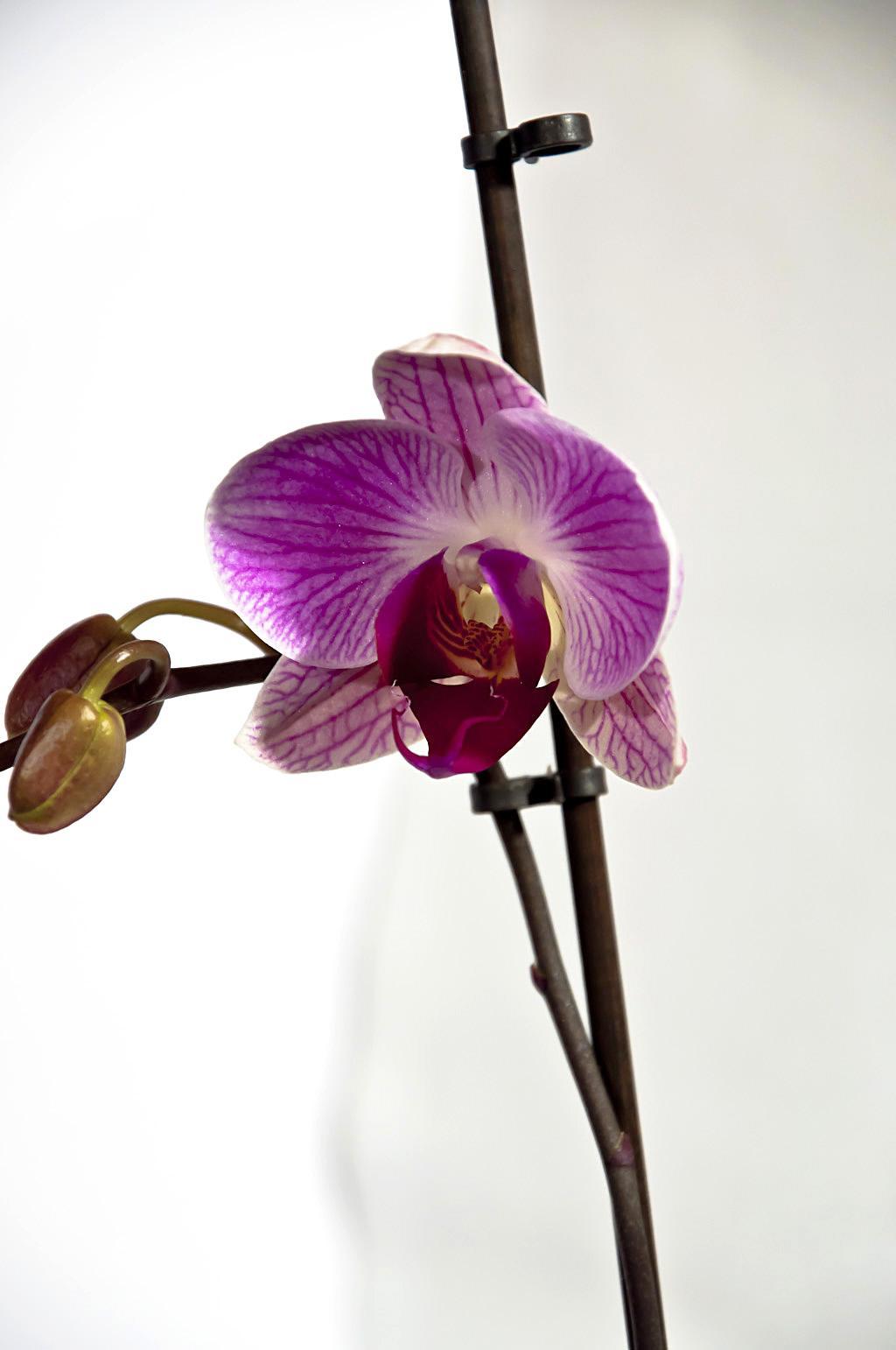 Орхидея_DSC_1619