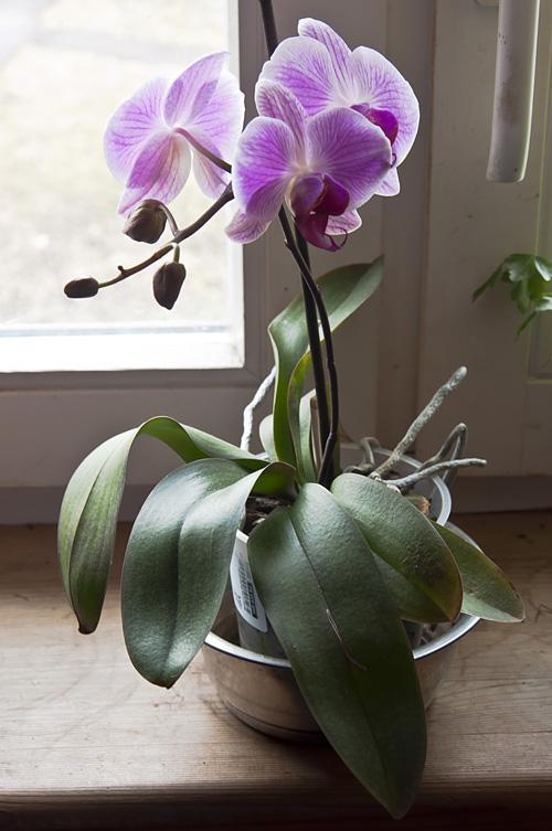 Орхидея_DSC_2105