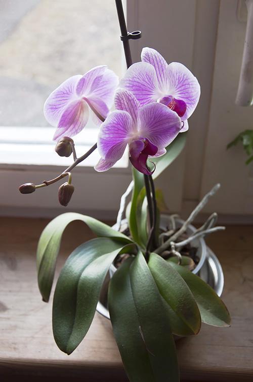 Орхидея_DSC_2114
