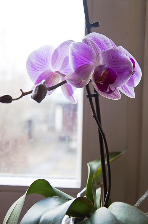 Орхидея_DSC_2115