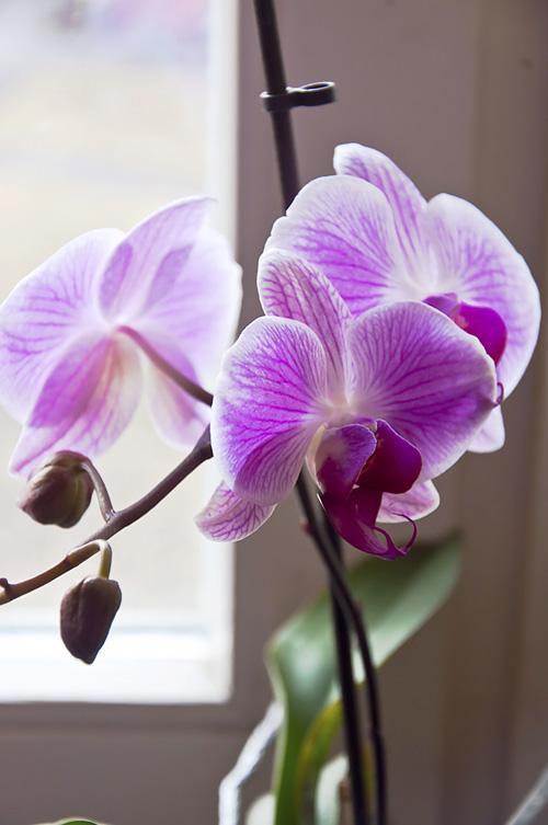 Орхидея_DSC_2116