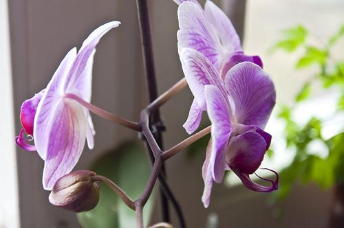 Орхидея_DSC_2117
