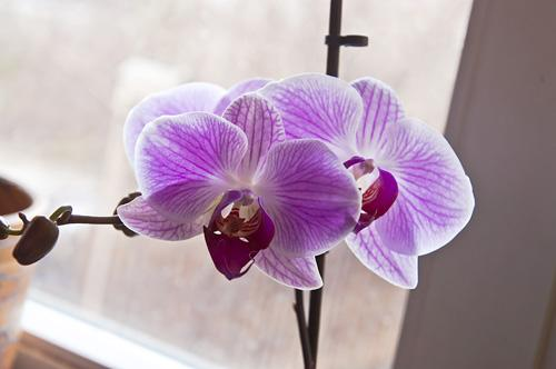 Орхидея_DSC_2120