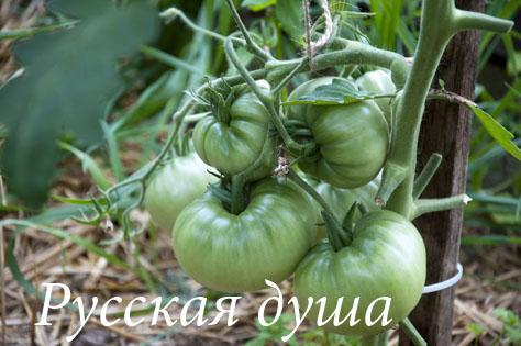 Огород_DSC_3675