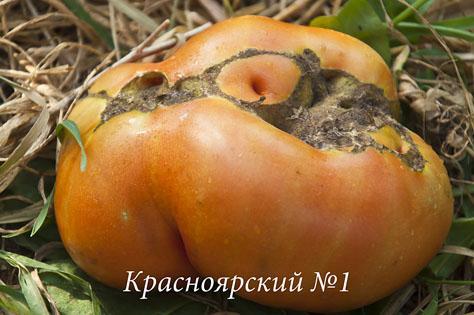 Ппомидорная коллекция_DSC_4309