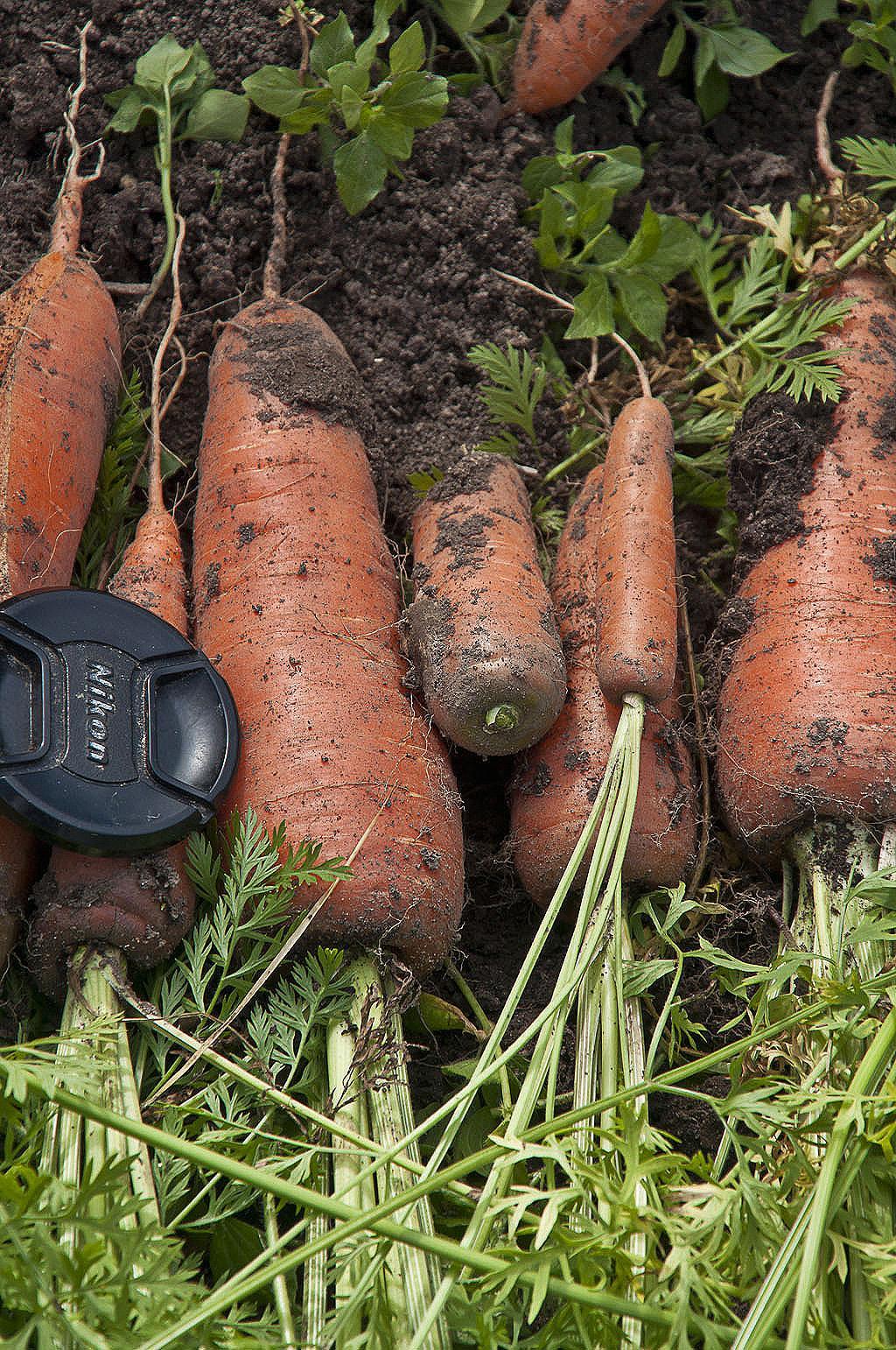 Морковь_DSC_4837