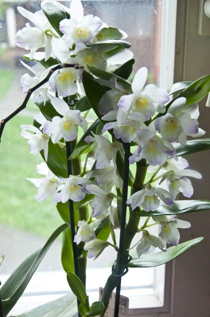Орхидея_DSC_6608