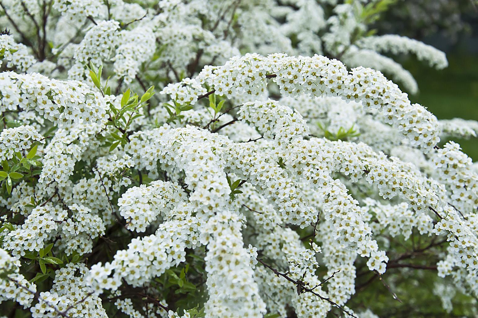 Цветущий сад_DSC_6615
