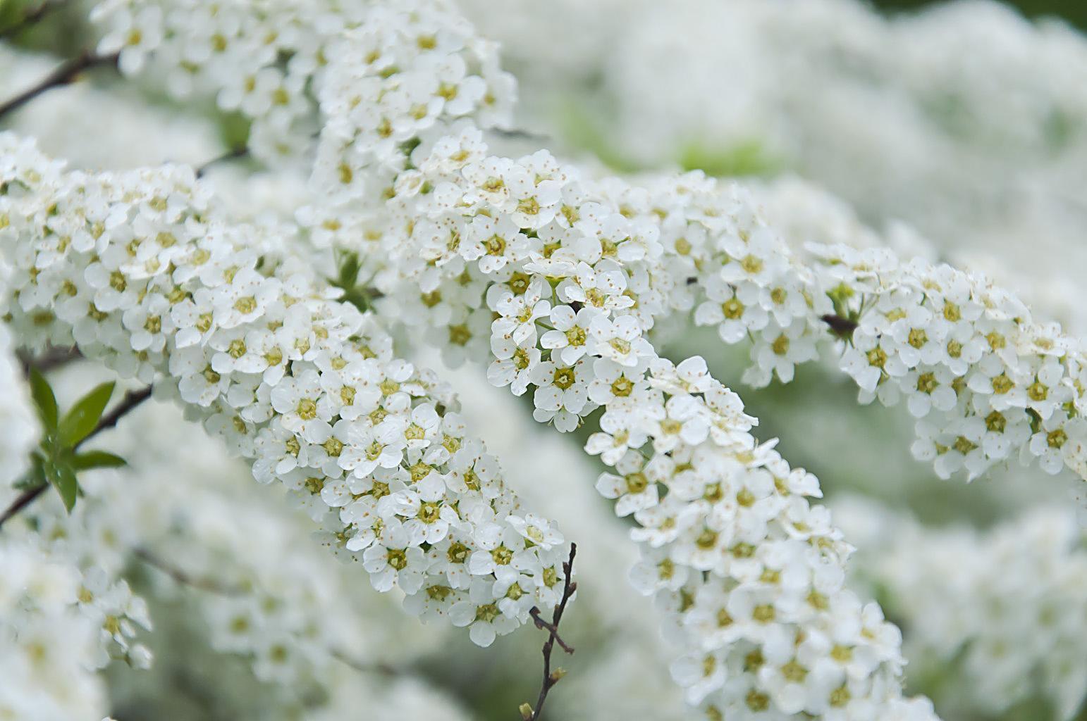 Цветущий сад_DSC_6616
