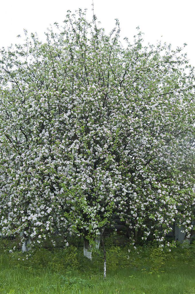 Цветущий сад_DSC_6618