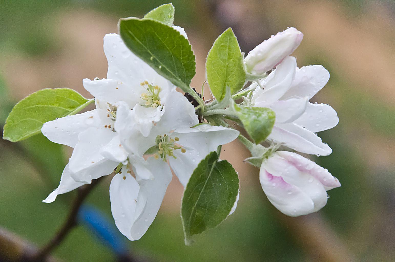 Цветущий сад_DSC_6622