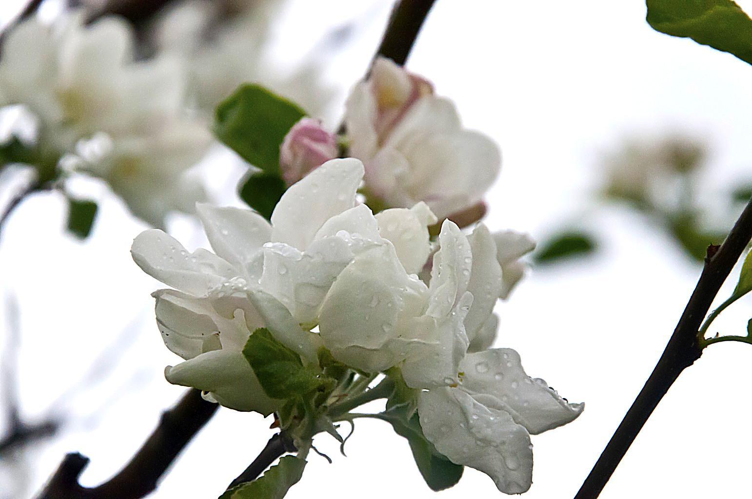 Цветущий сад_DSC_6624