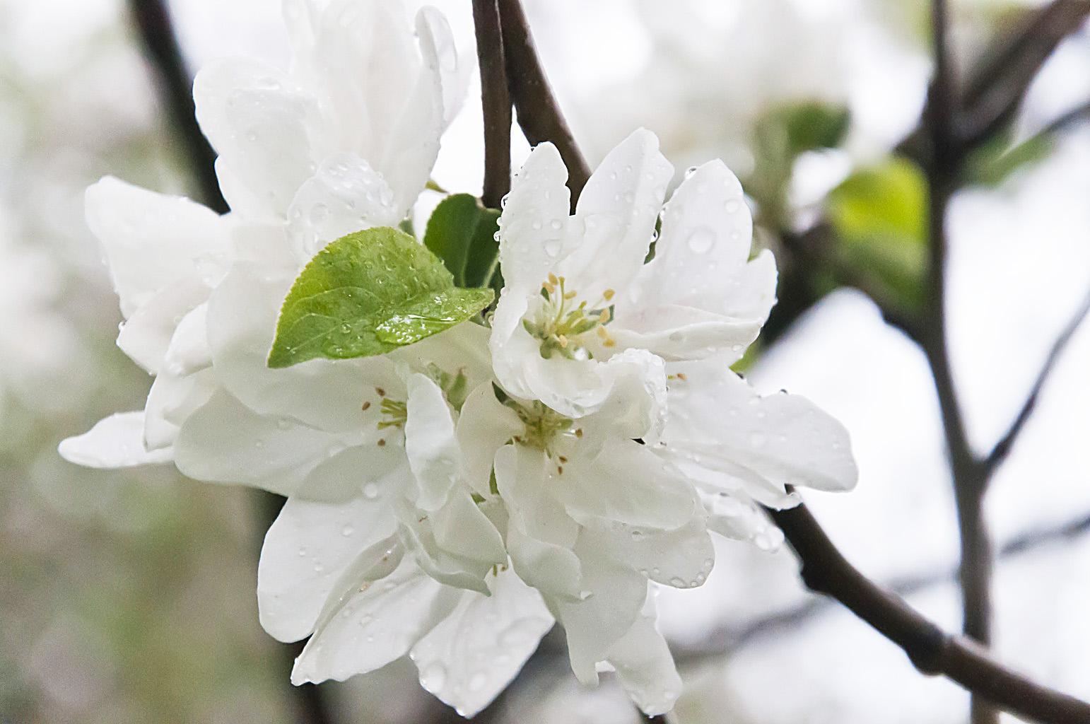 Цветущий сад_DSC_6625