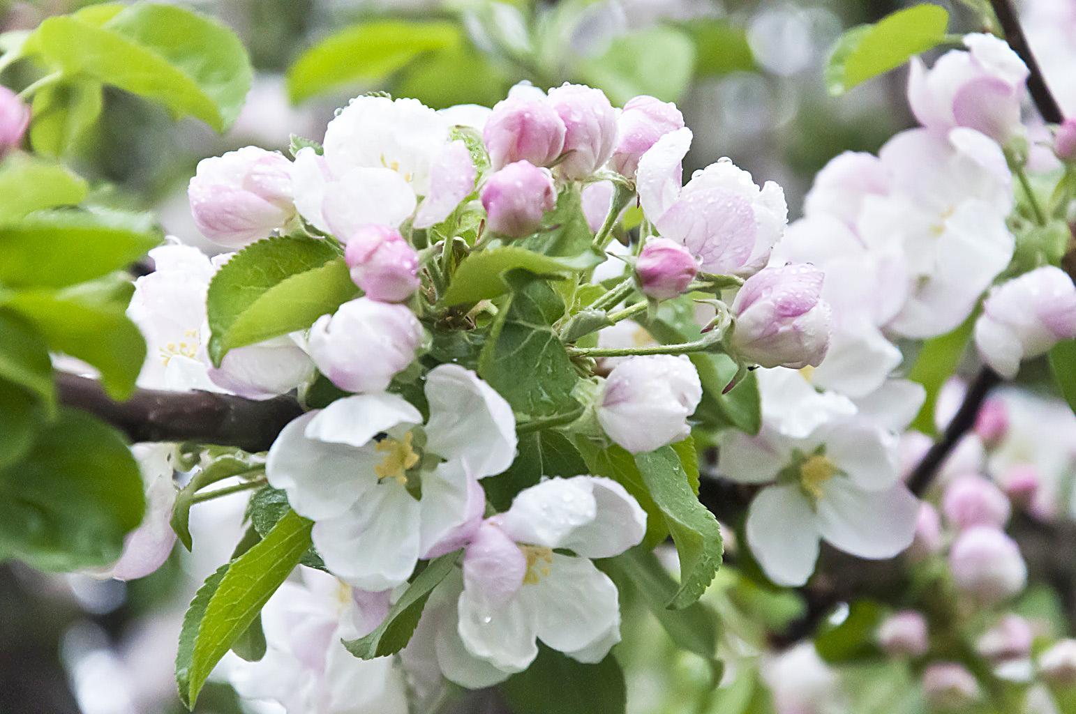 Цветущий сад_DSC_6629