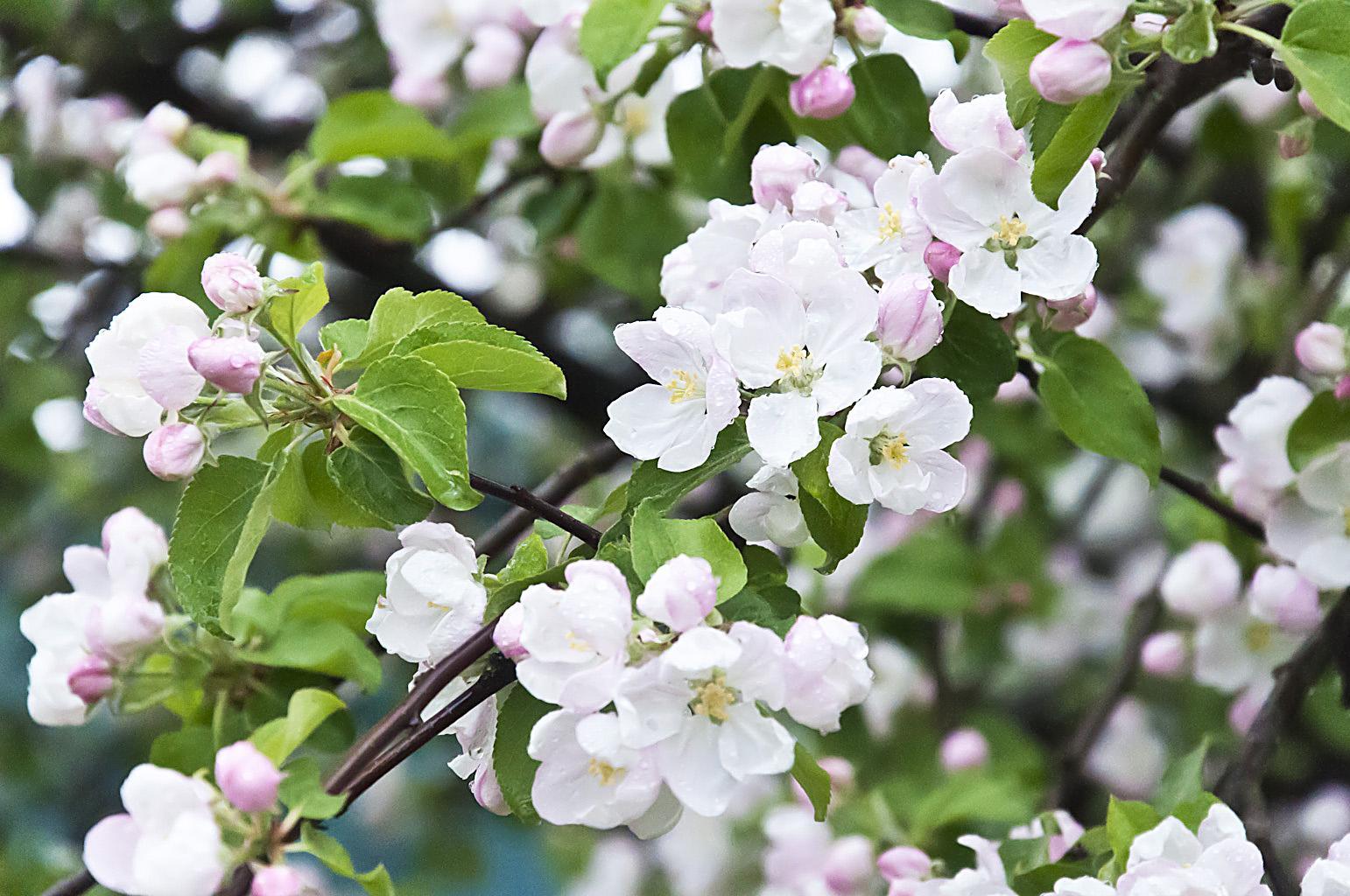 Цветущий сад_DSC_6630