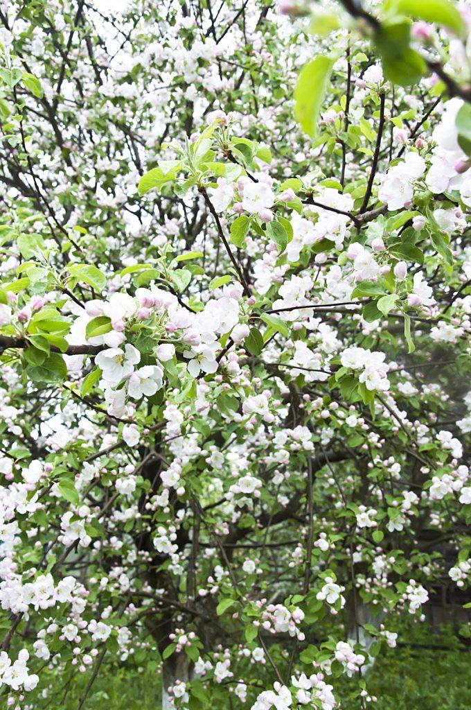 Цветущий сад_DSC_6632