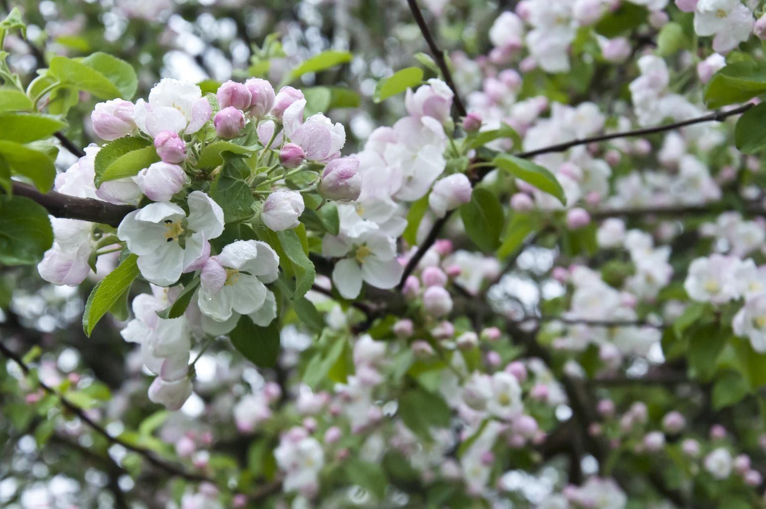 Цветущий сад_DSC_6633