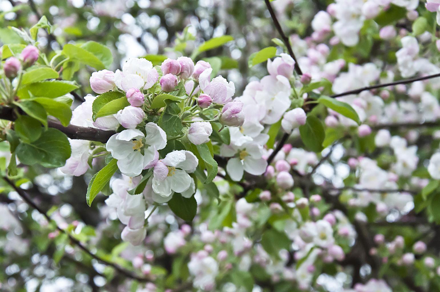 Цветущий сад_DSC_6634
