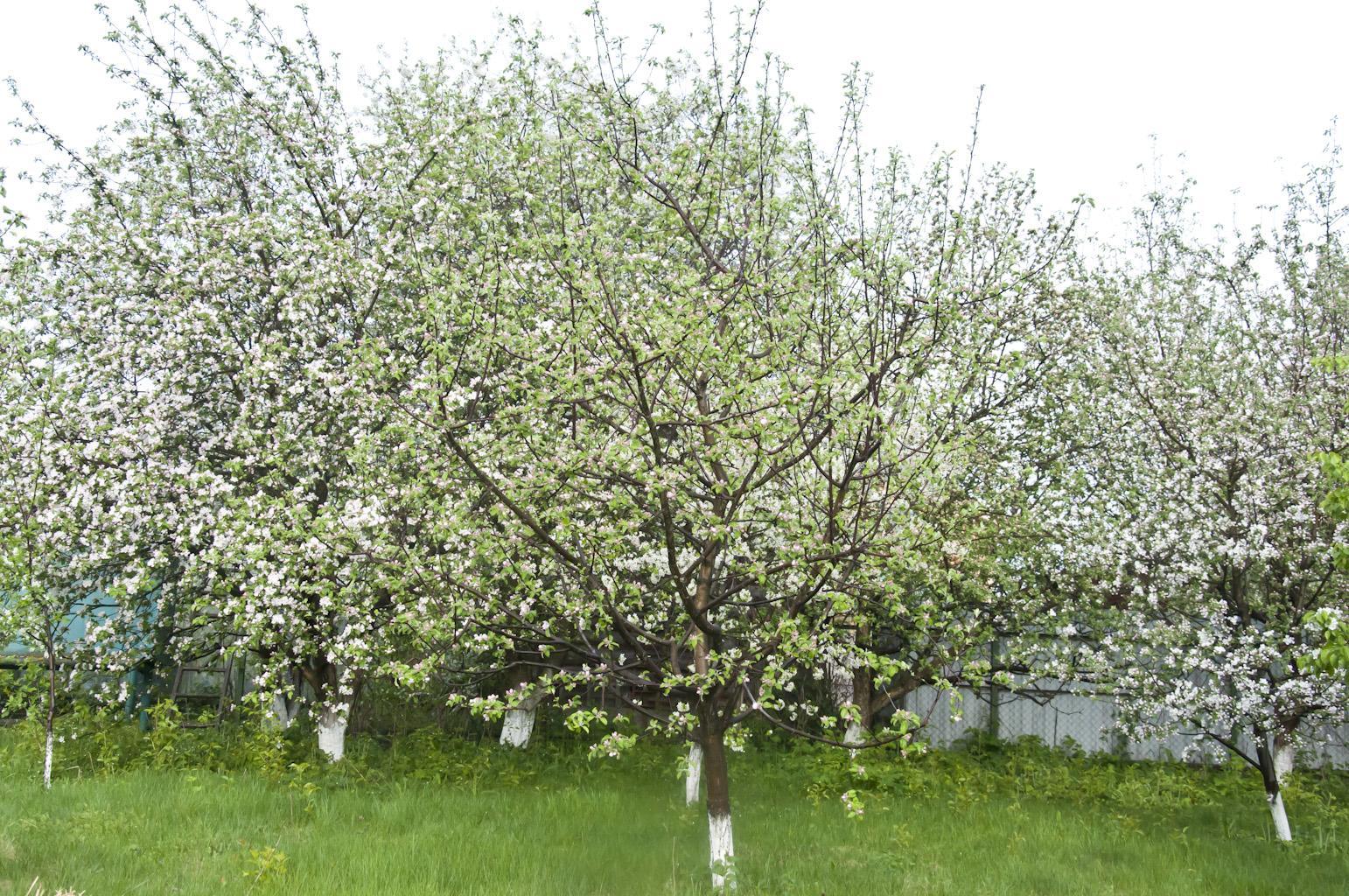 Цветущий сад_DSC_6765