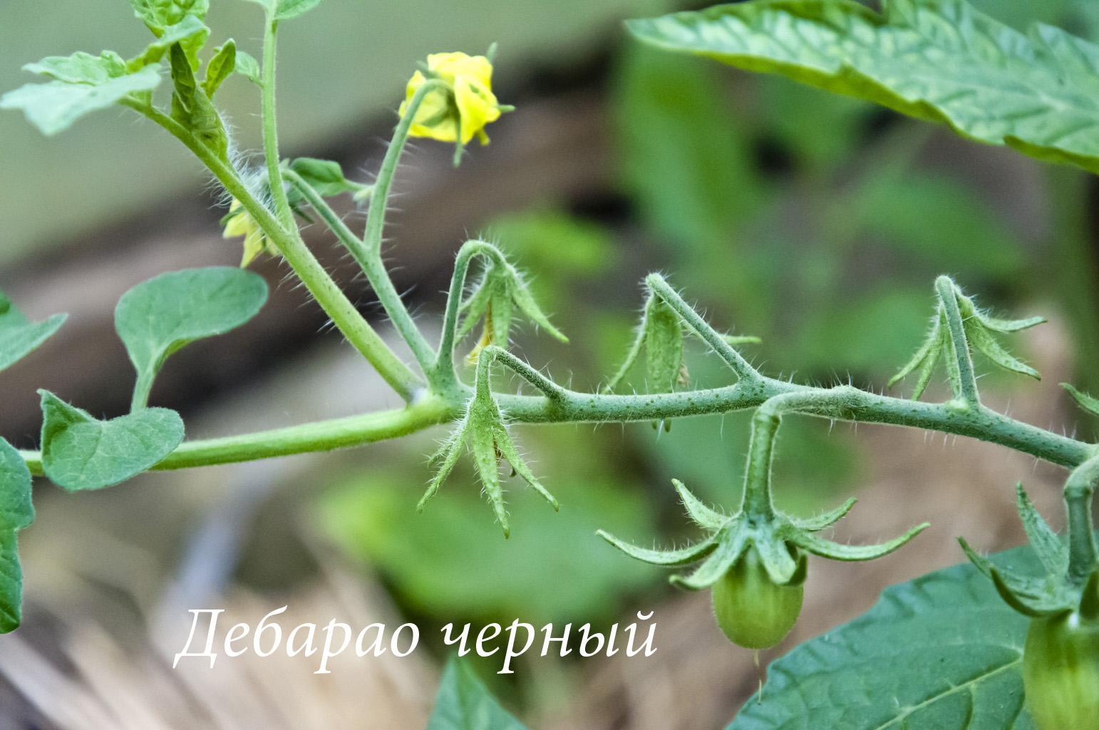 Помидоры_2016_DSC_7427