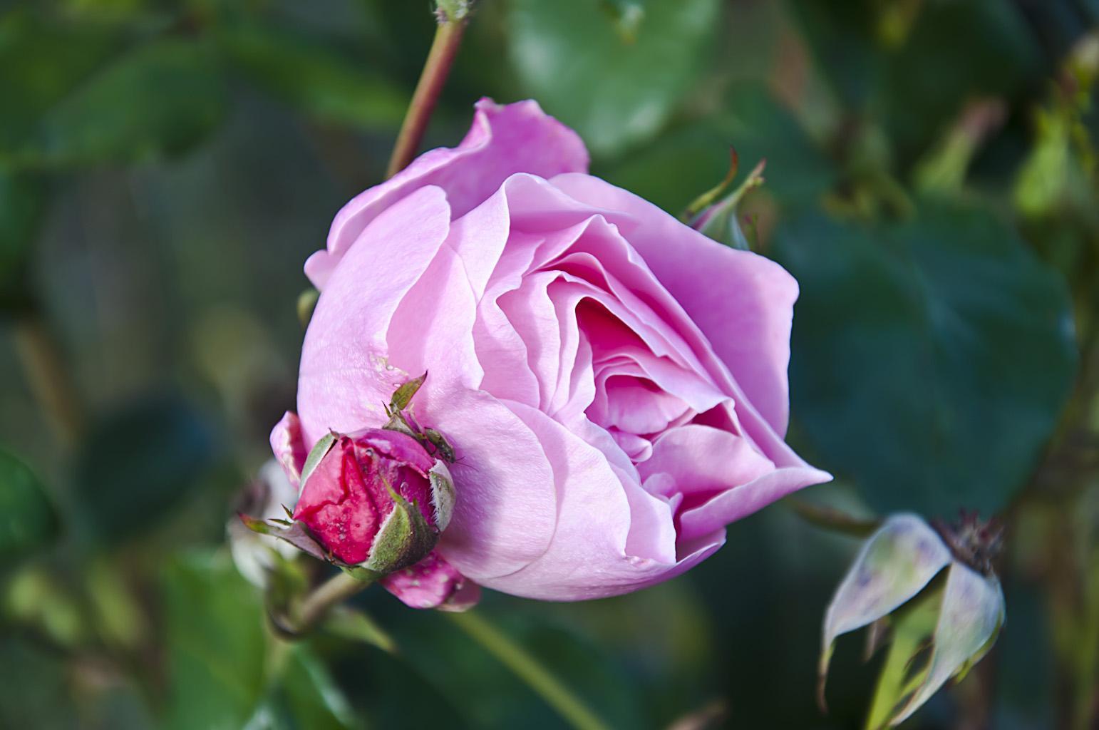 Розы_DSC_0067