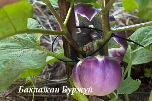 Баклажан Буржуй_DSC_1388