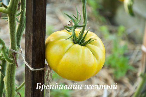 Брендивайн желтвй_DSC_1227