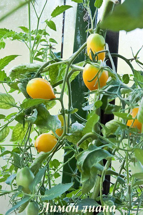 Лимон лиана_DSC_1479