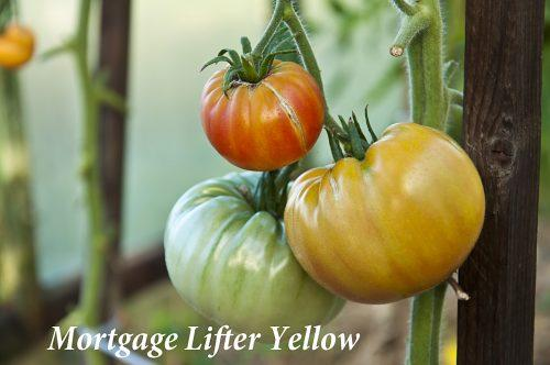 Mortgage Lifter Yellow_DSC_1223
