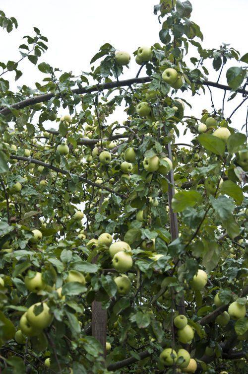 Тыквы и яблони_DSC_0002