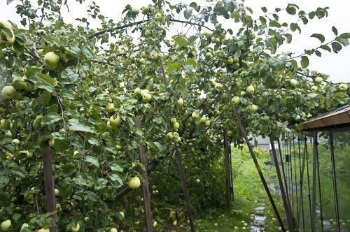 Тыквы и яблони_DSC_0003