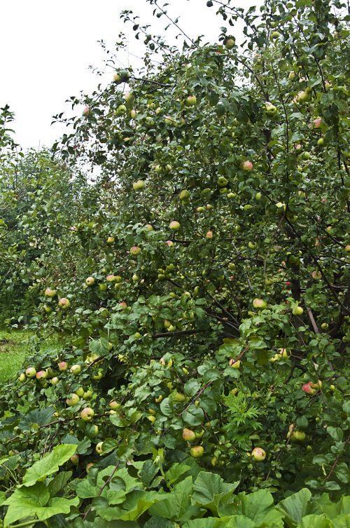 Тыквы и яблони_DSC_0009