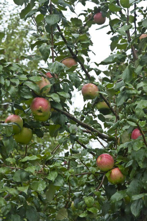 Тыквы и яблони_DSC_0010