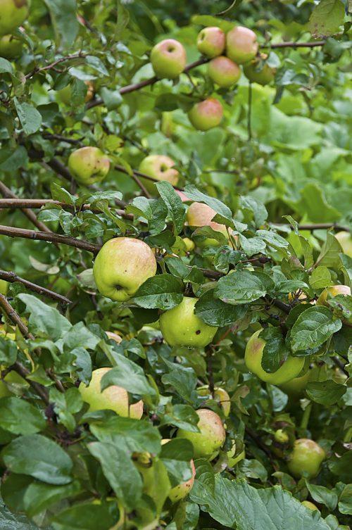 Тыквы и яблони_DSC_9991
